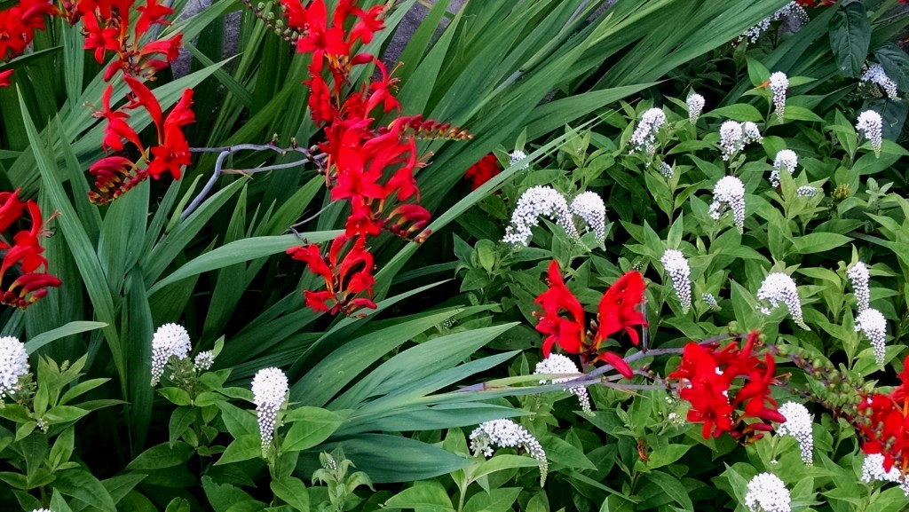 Crocosmia Lucifer and Lysimachia clethroides planted together