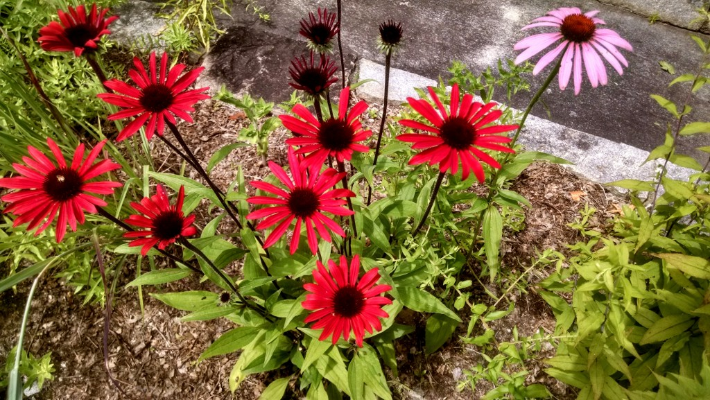 Red and Purple Echinacea
